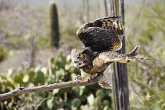 Great Horned Owl Landing Stock Images