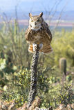Great horned Owl in landscape background Stock Images