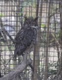 Great Horned Owl. Large, captive great horned owl in a cage Stock Images