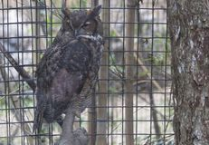 Great Horned Owl. Large, captive great horned owl in a cage Royalty Free Stock Photo