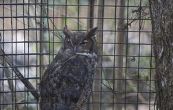 Great Horned Owl. Large, captive great horned owl in a cage Royalty Free Stock Photography