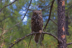 Great Horned Owl on Limb Royalty Free Stock Image