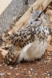 Great Horned Owl look in the side Stock Images