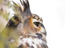 Great horned owl looking out from perch in tree, side view of eye, closeup royalty free stock photography