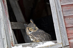 Great horned owl looking outside of old barn window. Great horned owl looking out of barn Stock Images