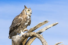 Great horned owl looking into sky Stock Images