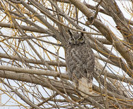 Great Horned Owl Looking From Tree Stock Photos