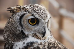 Great horned owl looks to the right Royalty Free Stock Photography