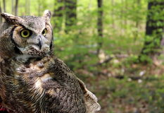 Great Horned Owl in natural habitat Stock Images