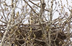 Great Horned Owl in Nest Royalty Free Stock Photography