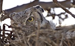 Great horned owl in nest Royalty Free Stock Photos