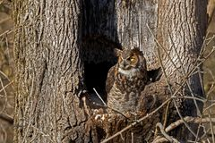Great Horned Owl at Nest Royalty Free Stock Photography