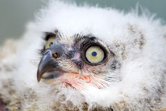 Great Horned Owl nestling side angle view Royalty Free Stock Image