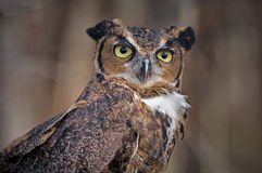 Great Horned Owl no. 2. Captive owl posing on tree branch Royalty Free Stock Photography