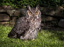 Great horned owl. Out in the daytime royalty free stock images