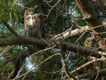 Great Horned Owl pair in Ponderosa Pine branches. Two well camouflaged Great Horned Owls peer intently from their rough Ponderosa Pine branch perches. owl, wise Royalty Free Stock Photos