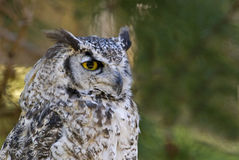 Great horned owl pale form (bubo virginianus). Great horned owl profile showing bright yellow eye Stock Photo