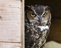 Great horned owl peeking Royalty Free Stock Images