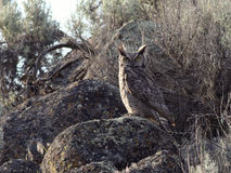 Great Horned Owl Perched on a Boulder Stock Photo