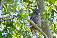 Great Horned Owl Perched on a Branch Stock Photo