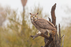 Great Horned Owl Perched Royalty Free Stock Photo