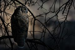 Great horned owl perched in the forest. Great horned owl resting in the woods waiting for nightfall Stock Photography