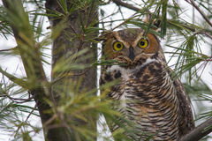 Great Horned Owl. Perched in a Pine Tree stock images