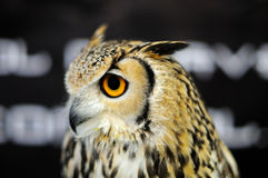 A great horned owl perched Stock Photography