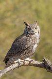 Great Horned Owl Perched Royalty Free Stock Photos
