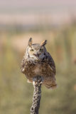 Great Horned Owl Stock Photography