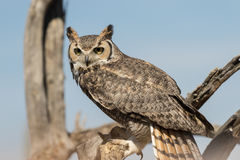 Great Horned Owl Perched Stock Photos