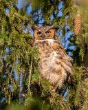 Great horned owl. Perching on pine tree stock image