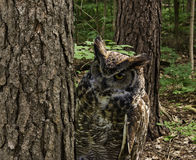 Great Horned Owl. Between pine trees Stock Photos