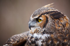 Great Horned Owl Portrait. A close up a Great Horned Owl Stock Images