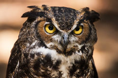 Great Horned Owl Portrait. A portrait of a great horned owl Stock Image