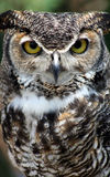 Great Horned Owl portrait. Portrait of Great Horned Owl royalty free stock photos