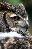Great Horned Owl portrait. Close up portrait of Great Horned Owl royalty free stock photo