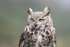 Great Horned Owl. A portrait of a great horned owl Stock Photos