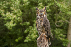 Portrait of a adult Great Horned Owl Bubo viriginianus Royalty Free Stock Photo