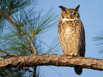 Great Horned Owl. Adult great horned owl sitting on a branch enjoying the afternoon sunshine Royalty Free Stock Photo