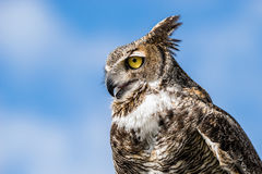 Great Horned Owl. Portrait of Great Horned Owl Bubo virginianus, aka Tiger Owl, against blue sky background stock photography