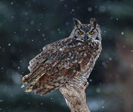 Great Horned Owl Portrait. A Great Horned Owl (Bubo virginianus) sitting on a perch with snow falling in the background Royalty Free Stock Images