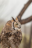 Great horned Owl Portrait Royalty Free Stock Image