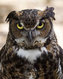 Great horned owl portrait Stock Photos