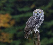 Great Horned Owl on a Post Stock Photography