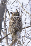 Great horned owl with prey Stock Photo