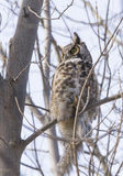 Great horned owl with prey Stock Photos