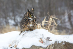 Great horned owl with prey. Great horned owl sitting on prey stock photo