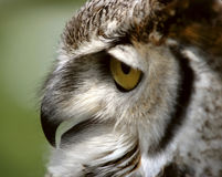 Great Horned Owl Profile. Great Horned Owl close up profile royalty free stock photography