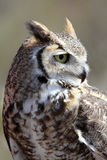 Great Horned Owl Profile Royalty Free Stock Photo